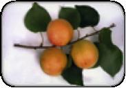 дар мелит абрикос
